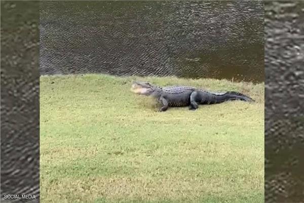 تمساح يلعب بكرة الجولف بولاية مسيسيبي الأميركية.