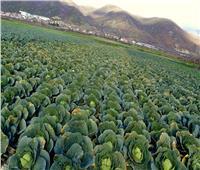 84 الف دولار راتب لمن يعمل فى حصاد الكرنب فى بريطانيا